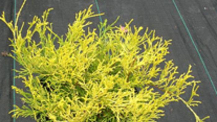 Grande vente d 39 arbustes et de conif res for Vente arbuste